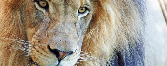 Respekt Löwe